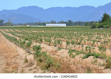 A considerable investment as a farm begins to establish a freshly planted blueberry crop that will take three years before bearing fruit.
