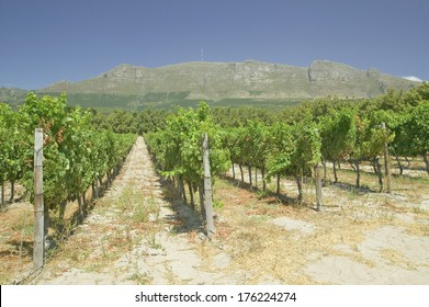 Constantia Wine Vineyards outside of Cape Town, South Africa