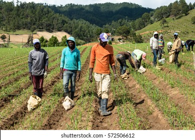 CONSTANZA, DOM. REPUBLIC - DEC 12, 2015: haitian farmers in the valley of Constanza surrounded by mountains, the agricultural center of the Dominican Republic