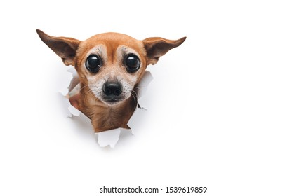 Constipation, difficulty in bowel movement. The head of old dog through a hole on a white torn paper background. Russian Toy Terrier. Horizontal image, copy space. Concept of spy, curiosity and snoop.