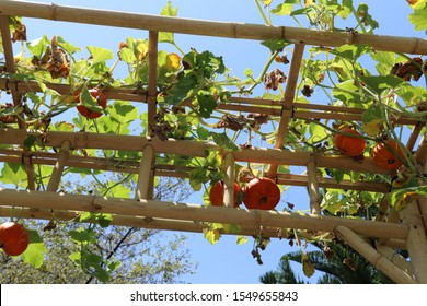 Construction made of bamboo trees and tied with natural string. Small ornamental orange pumpkins cling to the bamboo sticks and form a wonderful garden decoration. Sunny day and azure blue sky.