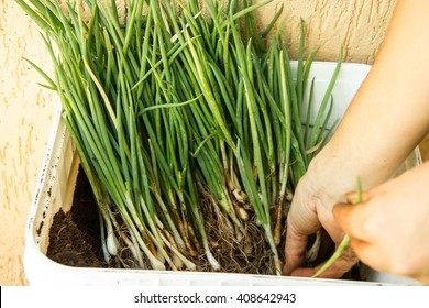 Container full of herbs (green onion, leek, chive) being prepared for planting