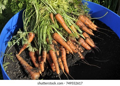Container grown carrots, freshly pulled, variety Amsterdam Forcing.