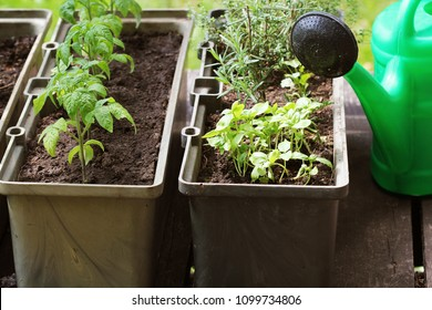 Container vegetables gardening. Vegetable garden on a terrace. Herbs, tomatoes seedling growing in container