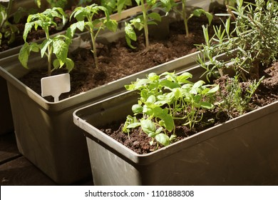 Container vegetables gardening. Vegetable garden on a terrace. Herbs, tomatoes seedling growing in container .