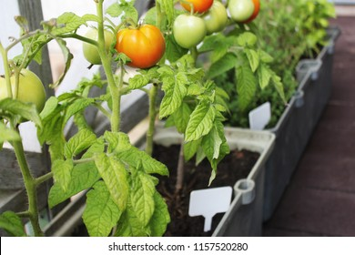 Container vegetables gardening. Vegetable garden on a terrace. Herbs, tomatoes growing in container