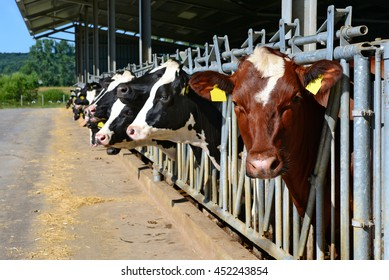 The content of cows under a canopy at dairy farm