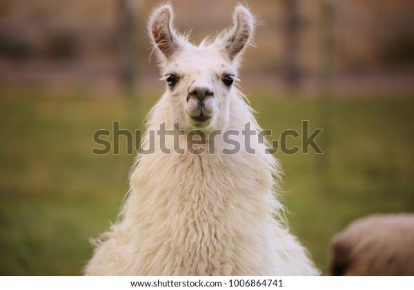 Содержание Ухмывание ламы