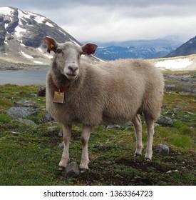 Content Sheep, Jotunheimen, Norway
