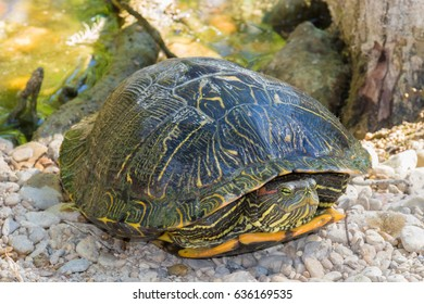 a content turtle sticking it's head out only a short distance
