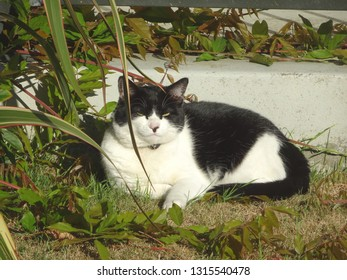 Contented black and white domestic cat lazing in sun in garden, Petone New Zealand