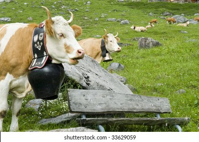 contented brown and white cow in mountain pasture