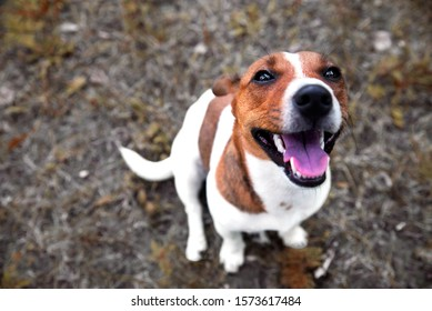 contented dog jack russell terrier sits on the ground and looks at the owner. view from above.
