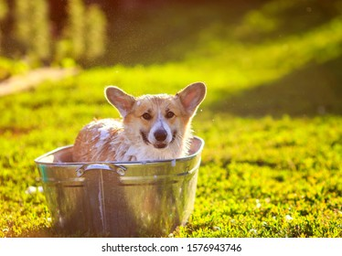 contented ginger Corgi dog puppy with big ears sits in a tub of water and bubble soap outside in a summer warm Sunny clear garden