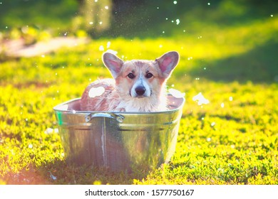 contented ginger Corgi dog puppy with big ears sits in a trough of water and soap suds outside in a summer warm Sunny clear garden