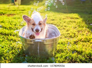 contented ginger Corgi dog puppy with big ears sits in a tub of water and bubble soap outside in a summer warm Sunny garden