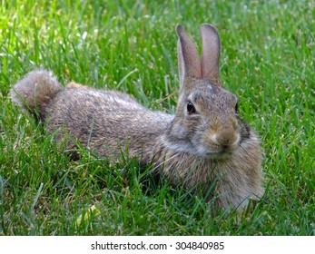 Contented, well fed, lazy bunny hanging out in the grass