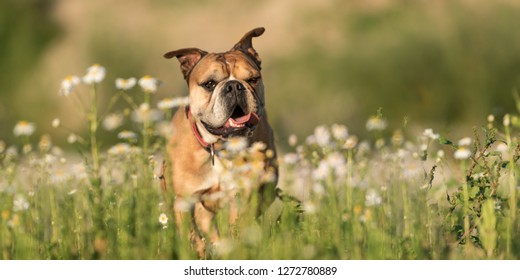 Continental Bulldog. Cute dog is standing in a blooming beautiful colorful meadow