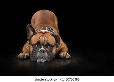 Continental Bulldog lying down at Studio