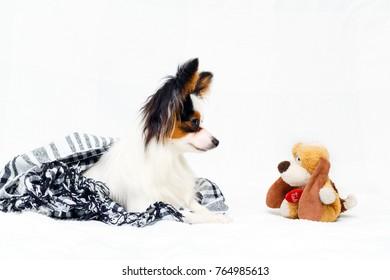 Continental Toy Spaniel dog