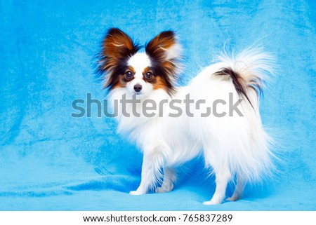 Continental Toy Spaniel dog