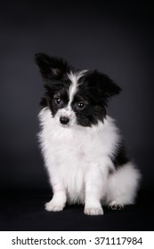 Continental Toy Spaniel puppy on a black background