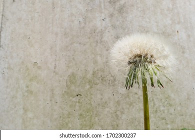The contrast between the soft fluffy seeds of a dandelion and the hardness of a concrete wall. Rough versus soft. Nature versus man-made. The ideal background for a quote about life.