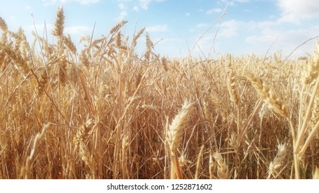 Contrast of natural colors of grain spikes. Wheat field at sunset. Mature yellow plant. Spanish agricultural industry of cereal.