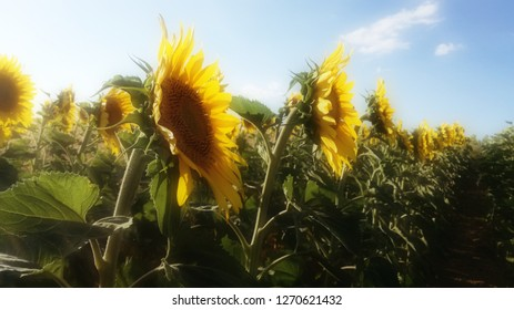 Contrast natural colors of yellow and green plants. Agricultural landscape in the center of Spain. The harvest ripens under the sun's rays. Field sown with sunflowers. Retro environment.
