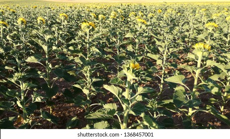 Contrast natural colors of yellow and green plants. Agricultural landscape in the center of Spain. The harvest ripens under the sun's rays. Light and warm atmosphere. Field sown with sunflowers.