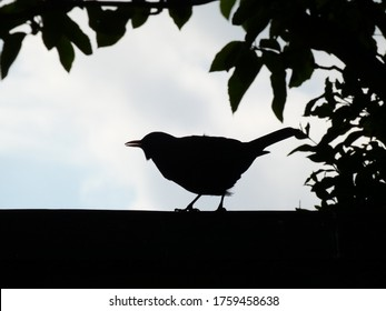 Contrast photograph of a blackbird, framed with leaves.