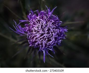Contrast purple Scotch thistle