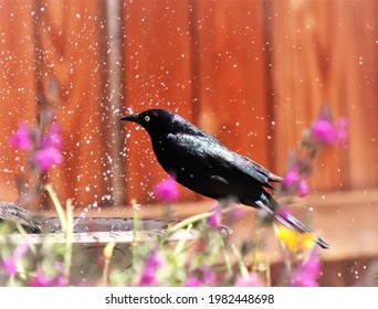 A contrasting blackbird amongst colorful foliage, standing on a bird fountain