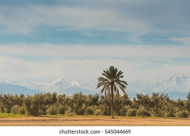 Contrasting view of the sandy desert grounds in the foreground with lush olive and date palm trees and the snow capped Atlas mountains in the background. Marrakech, Morocco