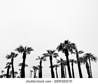 Contrasty black and white image of palm trees against a white sky.