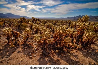 Contre-jour cholla cactus in the Mojave  Desert