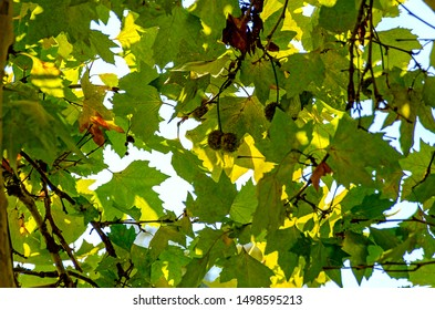 contre-jour shot of leaves and fruits of a plane tree