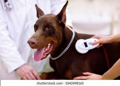 Control chip at dogs neck, veterinarian check information about dog