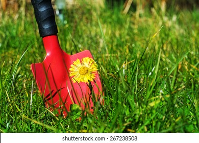 control of weeds in the lawn, red garden shovel behind coltsfoot (Tussilago farfara) in the grass, copy space