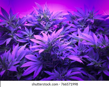 Controlled marijuana farming