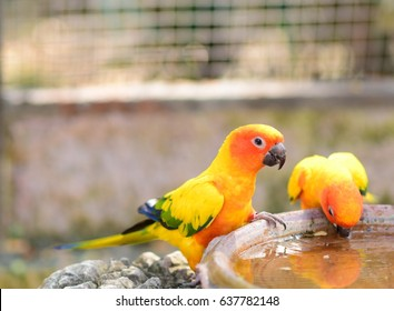 Conure parrots are drinking water