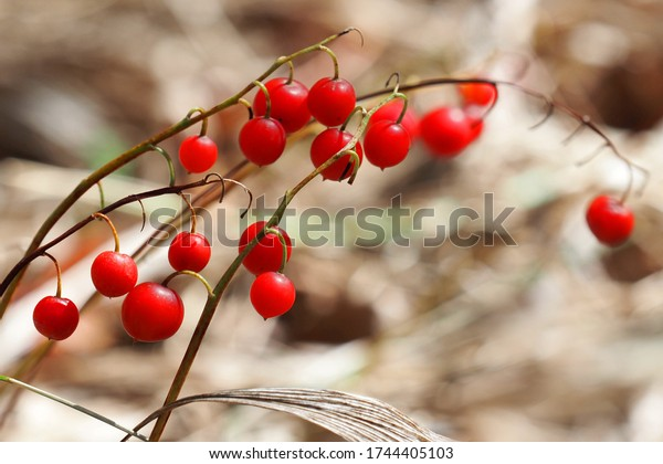 Convallaria majalis autumn background, red berries of lily of the valley