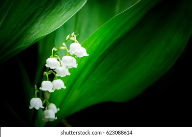 Convallaria majalis lily of the valley in the garden with shadow