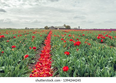 Converging rows of red flowering tulips from which most of the flower heads have already been cut off. The red petals are in the path between the rows. The photo was taken in the spring season.