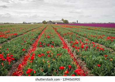 Converging rows of red flowering tulips from which most of the flower heads have already been cut off. The red petals are in the paths between the flower beds. The photo was taken in the spring season