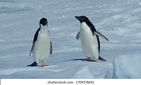 Conversation of a pair of adelie penguins on the ice in Antarctica