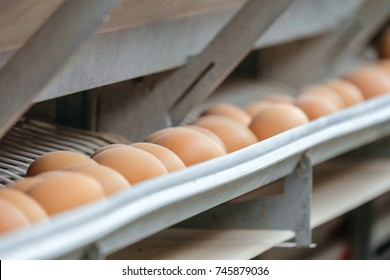Conveyor production line of chicken eggs of a poultry farm. Agriculture background with limited depth of field.