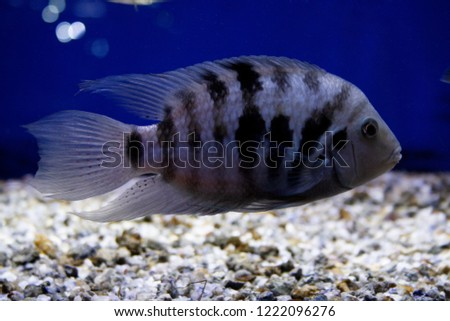 Convict Cichlid Amatitlania Nigrofasciata American Black Stock Photo