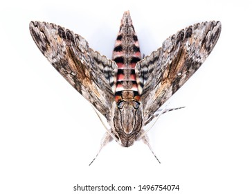 The convolvolus hawk moth (Agrius convolvuli) in a withe background isolated