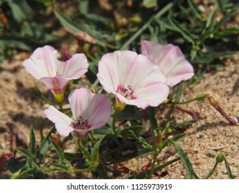 Convolvulus arvensis - field bindweed